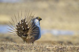 Wyoming, Greater Sage Grouse Strutting on Lek by Elizabeth Boehm
