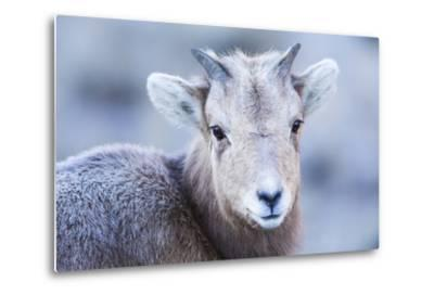 Wyoming, Jackson, National Elk Refuge, a Bighorn Sheep Lamb Poses for a Portrait
