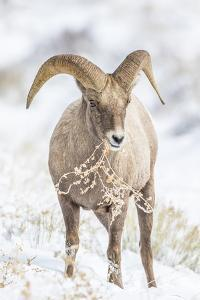 Wyoming, Jackson, National Elk Refuge, a Young Bighorn Sheep Rams Eats a Plant in the Wintertime by Elizabeth Boehm