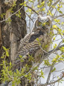 Wyoming, Lincoln County, a Great Horned Owl Fledgling Sits in a Leafing Out Cottonwood Tree by Elizabeth Boehm