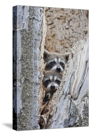 Wyoming, Lincoln County, Raccoon Young Looking Out Cavity in Snag