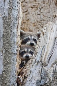 Wyoming, Lincoln County, Raccoon Young Looking Out Cavity in Snag by Elizabeth Boehm