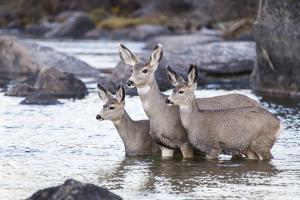 Wyoming, Mule Deer Doe and Fawns Standing in River During Autumn by Elizabeth Boehm
