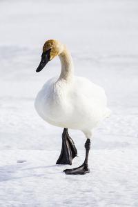 Wyoming, National Elk Refuge, Trumpeter Swan Walking on Snowy Ice by Elizabeth Boehm