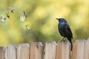 Wyoming, Sublette County, a Common Grackle Sits on a Fence in a Rainstorm by Elizabeth Boehm