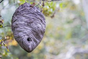 Wyoming, Sublette County, a Hornet's Nest Hangs from a Tree in the Autumn by Elizabeth Boehm
