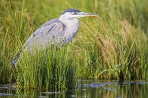 Wyoming, Sublette County, a Juvenile Great Blue Heron Forages for Food by Elizabeth Boehm