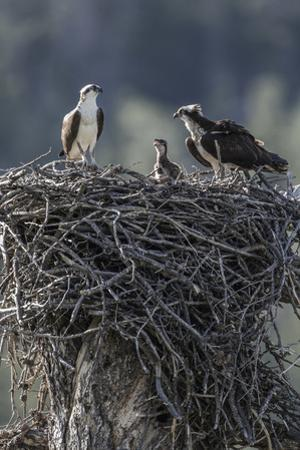Wyoming, Sublette County, a Pair of Osprey with their Chick Stand on a Stick Nest