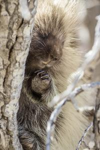 Wyoming, Sublette County, a Porcupine Peers from the Trunk of a Cottonwood Tree by Elizabeth Boehm