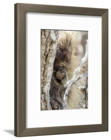 Wyoming, Sublette County, a Porcupine Peers from the Trunk of a Cottonwood Tree