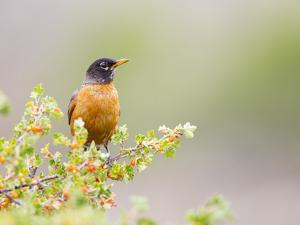 Wyoming, Sublette County, an American Robin Sits in a Current Bush by Elizabeth Boehm