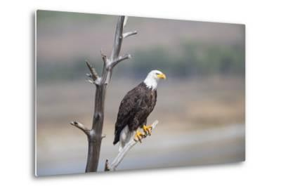 Wyoming, Sublette County, Bald Eagle Roosting on Snag