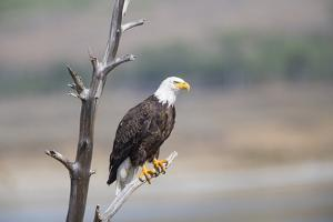 Wyoming, Sublette County, Bald Eagle Roosting on Snag by Elizabeth Boehm