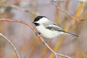 Wyoming, Sublette County, Black Capped Chickadee Perched on Will Stem by Elizabeth Boehm