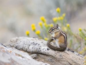 Wyoming, Sublette County, Least Chipmunk with Front Legs Crossed by Elizabeth Boehm