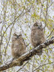 Wyoming, Two Great Horned Owls Sit in a Cottonwood Tree after Recently Fledging their Nest by Elizabeth Boehm