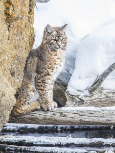 Wyoming, Yellowstone National Park, a Bobcat Sits Along the Madison River, Winter by Elizabeth Boehm