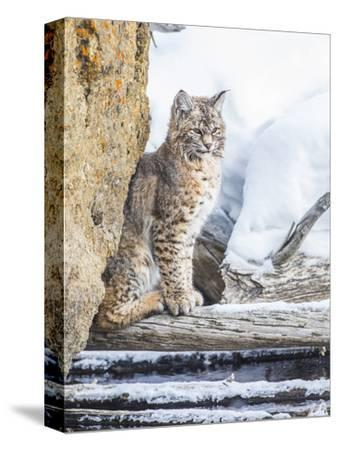 Wyoming, Yellowstone National Park, a Bobcat Sits Along the Madison River, Winter