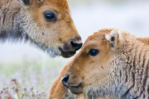 Wyoming, Yellowstone National Park, Bison Calves Greeting Each Other by Elizabeth Boehm