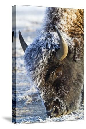 Wyoming, Yellowstone National Park, Frost Covered Bison Cow in Geyser Basin