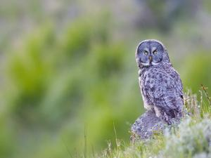 Wyoming, Yellowstone National Park, Great Gray Owl Hunting from Rock by Elizabeth Boehm