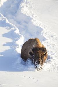 Wyoming, Yellowstone National Park, Hayden Valley, Bison Breaking Trail in Snow by Elizabeth Boehm