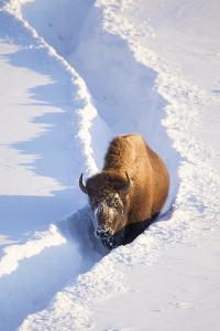 Wyoming, Yellowstone National Park, Hayden Valley, Bison Walking in Snow Trough by Elizabeth Boehm