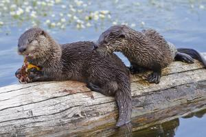 Wyoming, Yellowstone National Park, Northern River Otter Pups Eating Trout by Elizabeth Boehm