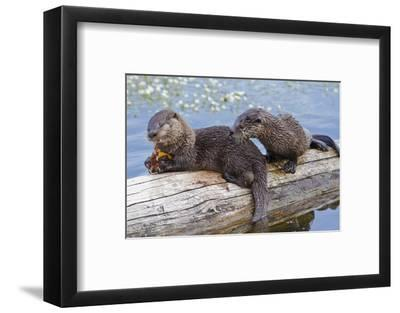 Wyoming, Yellowstone National Park, Northern River Otter Pups Eating Trout