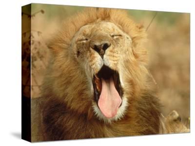 African Lion (Felis Leo), Adult Male Yawning