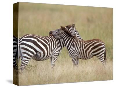 Burchell's Zebras, Serengeti, Tanzania