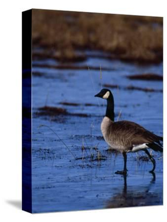Canadian Goose in Water, CO