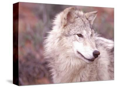 Close-up of Gray Wolf, Near Zion National Park, UT