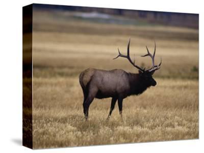 Elk in Field, Yellowstone National Park, WY