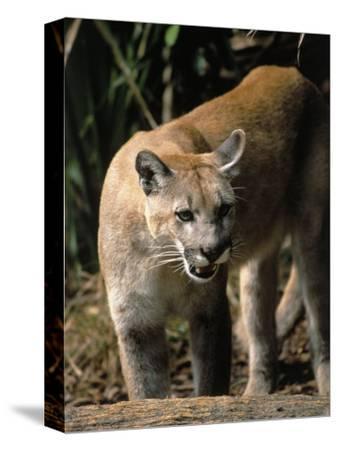 Florida Panther (Felis Concolor), FL