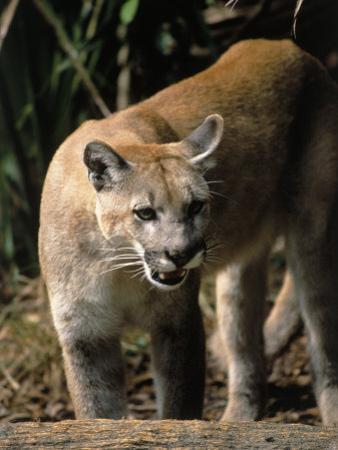 Florida Panther (Felis Concolor), FL by Elizabeth DeLaney