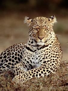 Leopard, East Africa by Elizabeth DeLaney