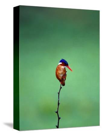 Malachite Kingfisher, Alcedo Cristata Galerita