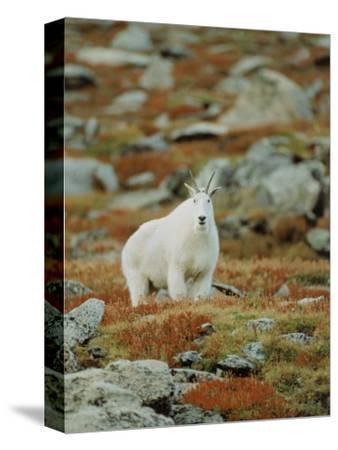 Mountain Goat (Oreamnos Montanus)