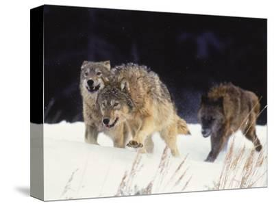 Pack of Timber Wolves (Canis Lupus)