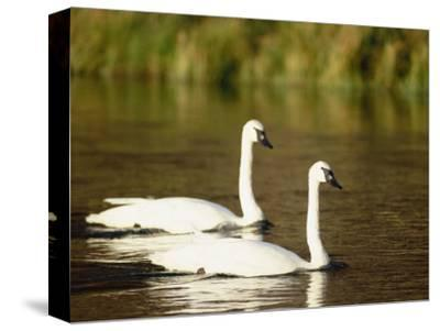 Two Trumpeter Swans, Yellowstone National Park, WY