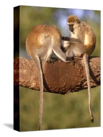 Vervet Monkeys, Tanzania