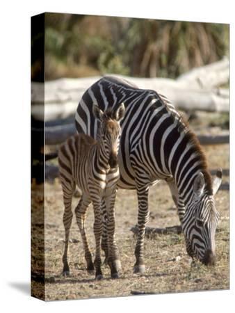 Zebra and Foal, Serengeti National Park, Tanzania