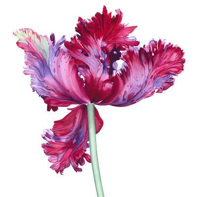 Parrot Tulip No 5
