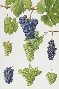 Grapes by Elizabeth Rice