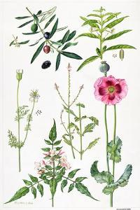 Opium Poppy and Other Plants by Elizabeth Rice