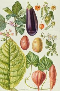 Potato, Aubergine, Tobacco and Winter Cherry by Elizabeth Rice