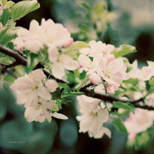 Apple Blossoms I Crop by Elizabeth Urquhart
