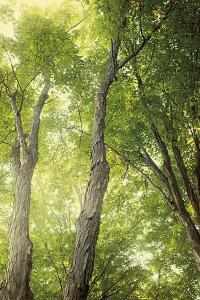 Towering Maples II by Elizabeth Urquhart