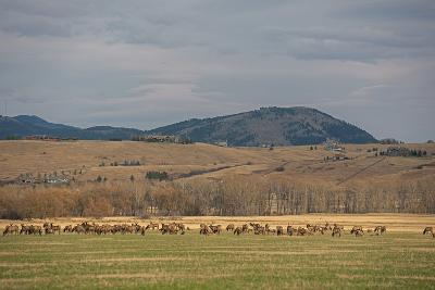 Elk, Cervus Canadensis, Grazing in a Field in the Gallatin Valley-Gordon Wiltsie-Photographic Print